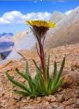 Survival of the Fittest - Flower on Crook's Peak  Photo:www.summmitpost.org