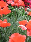 (c)2009 Em at https://diabetesdietdialogue.wordpress.com - Oriental Poppies