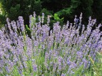 Lavender helps alleviate stress for diabetics.